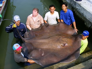 Giant freshwater stingray brace fishing in Thailand