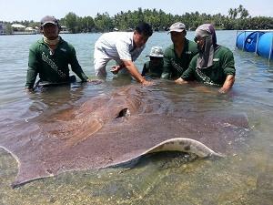 Filming Giant freshwater stingrays Thailand