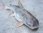 catfish thick spined