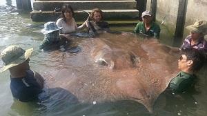 Big Giant freshwater stingray fishing at Maeklong River