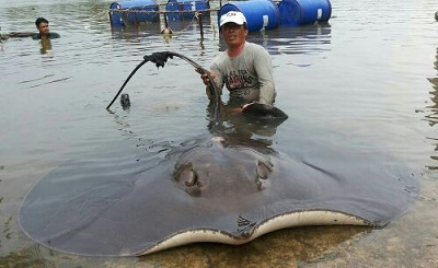 Giant Stingray Fishing Mae Klong River Japanese TV