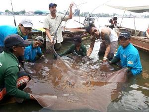 Giant freshwater stingray Zeb hogan Thailand