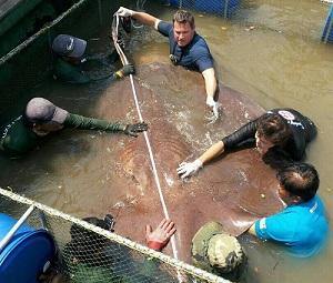 Jeff Corwin World record Giant freshwater stingray Thailand