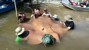 Thai Monster Stingray fishing show with TBS