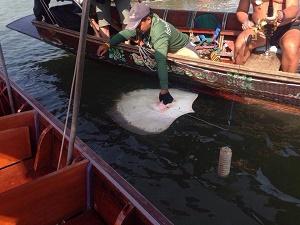 Thai Stingray research trip 2015