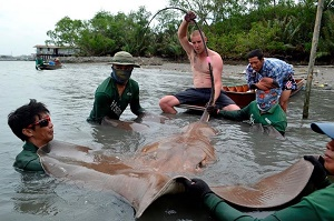 Thailand Maeklong River fishing stingray