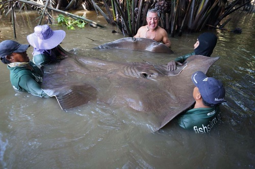 Thailand freshwater fishing for stingrays 2014