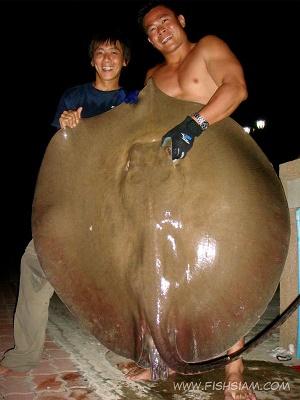 75 kg Stingray caught stingray fishing Thailand Maeklong River