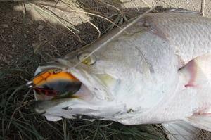 Barramundi fishing in Thailand