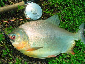 Fly fishing Lake Monsters Thailand