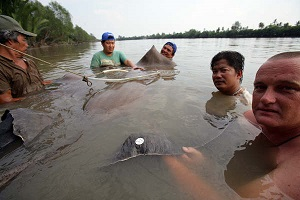 Freshwater stingray fishing Pakong River Thailand