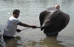 Freshwater stingray river fishing Thailand