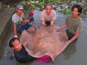 Giant Freshwater Stingray brace fishing in Thailand