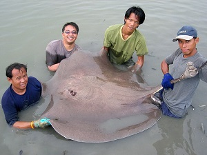 Giant Stingray brace fishing Maeklong River Thailand