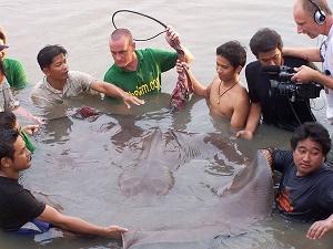 Ground breaking Giant freshwater stingray capture fishing Thailand
