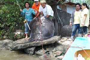 Latest Thailand Giant freshwater stingray fishing Ban Pakong River