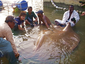 Stingray fishing in Thailand TBS Japan