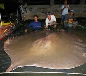 World Record freshwater stingray caught again Thailand