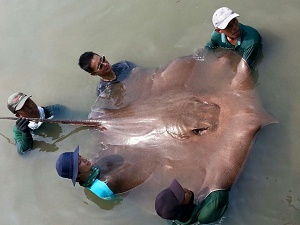 Big Stingray NHK Japan Maeklong River