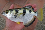 smallscale archerfish