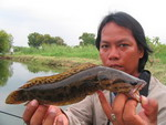 snakehead blotched