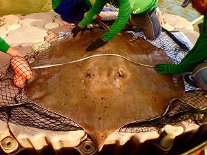 2014 Giant Freshwater Stingray brace fishing at Maeklong River