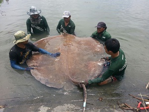 Big Thai stingray Mae Klong River Thailand
