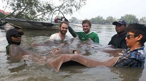 Big stingray fishing mae klong River Thailand