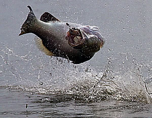 acrobatic barramundi