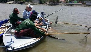 Freshwater fishing stingrays Maeklong Thailand