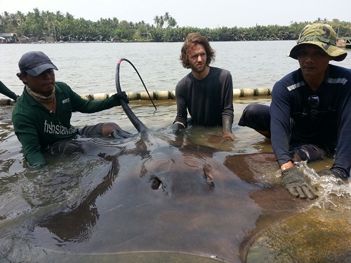 Giant Stingray fishing Maeklong River