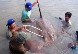 Giant-freshwater-stingray-fishing-Ban-Pakong-River