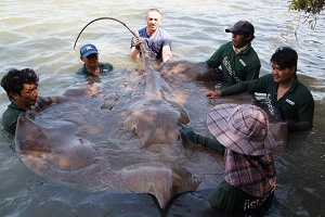 Irish angler lands monster stingray fishing Maeklong River