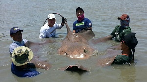 Monster stingray Maeklong River Thailand