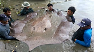 TBS TV show Thailand Stingray fishing