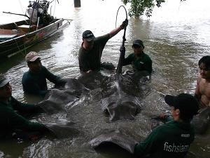 Thailand angling Giant freshwater stingrays.