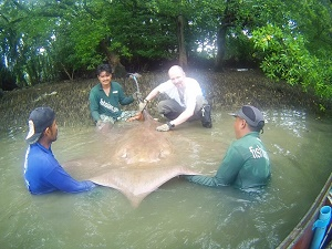 Wild stingray fishing in Thailand