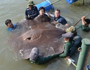 Fishing the Maeklong river for giant freshwater stingray