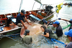 Fishing for Giant freshwater stingray on Maeklong River