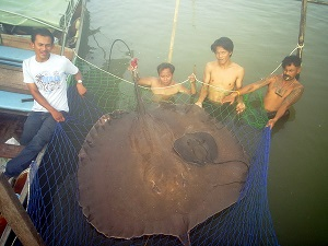 Giant Freshwater Stingray birth Maeklong River Thailand