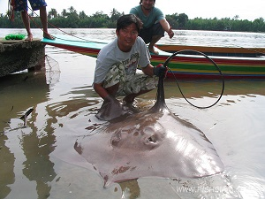 Giant Freshwater Stingray fishing Bang Pakong River Thailand
