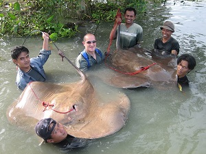 Giant Freshwater Stingray three fish catch in Thailand
