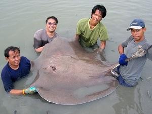 Giant Stingray brace fishing Maeklong River Thailand