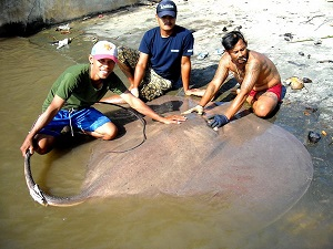 Giant Stingray fishing Thailand Maeklong River