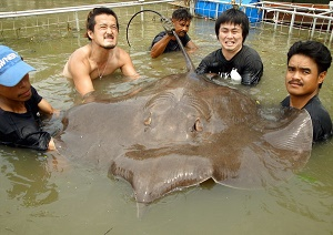 Japanese stingray fishing show