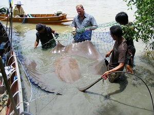 Maeklong River Giant Freshwater Stingray Record in Thailand