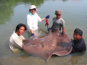 Maeklong River Stingray fishing brace Thailand
