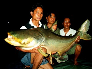 Massive Mekong Catfish captured fishing in Bangkok