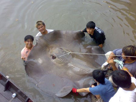 Monster Giant Stingray brace caught stingray fishing at the Ban Pakong River in Thailand