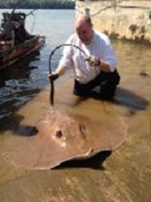 River fishing Giant freshwater Stingrays